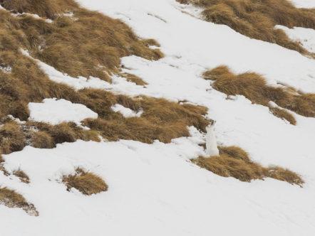 Lepre variabile (muta invernale)